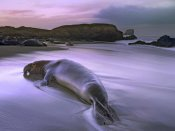 Tim Fitzharris - Northern Elephant Seal bull laying at surf's edge, Point Piedras Blancas, California