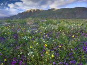Tim Fitzharris - Wildflowers carpeting the ground beneath Coyote Peak, Anza-Borrego Desert, California