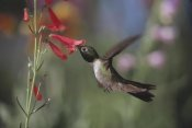 Tim Fitzharris - Broad-tailed Hummingbird feeding on the nectar of a Scarlet Bugler flower, New Mexico