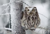 Tim Fitzharris - Western Screech Owl perching in a tree with snow on its head, British Columbia, Canada