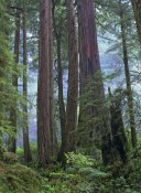 Tim Fitzharris - Old growth forest of Coast Redwood stand Del Norte Coast Redwoods State Park, California
