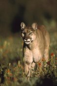 Tim Fitzharris - Mountain Lion or Cougar walking through a field of red Paintbrush flowers, North America