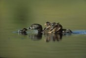 Tim Fitzharris - Pied-billed Grebe parent with two chicks on its back and one learning to swim, New Mexico