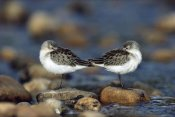 Tim Fitzharris - Western Sandpipers pair standing back to back with beaks tucked under wings, North America