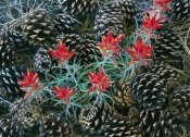 Tim Fitzharris - Indian Paintbrush surrounded by pine cones, South Rim, Grand Canyon National Park, Arizona