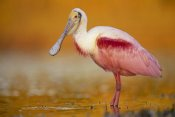 Tim Fitzharris - Roseate Spoonbill adult in breeding plumage standing in golden-colored water, North America