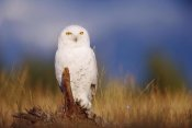 Tim Fitzharris - Snowy Owl adult perching on a low stump in a field of green grass, British Columbia, Canada