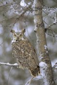 Tim Fitzharris - Great Horned Owl in its pale form perching in a snow-covered tree, British Columbia, Canada