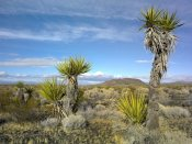 Tim Fitzharris - Cinder Cones, Joshua Tree and other desert vegetation, Mojave National Preserve, California
