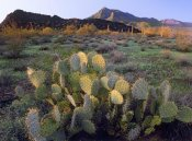 Tim Fitzharris - Beavertail Cactus with Picacho Mountain in the background, Pichaco Peak State Park, Arizona