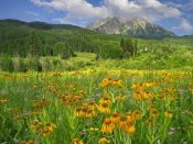 Tim Fitzharris - Orange Sneezeweed blooming in meadow with East Beckwith Mountain in the background, Colorado