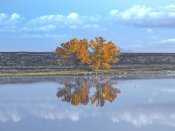 Tim Fitzharris - Cottonwood and Cranes, autumn foliage, Bosque del Apache National Wildlife Refuge, New Mexico