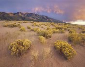 Tim Fitzharris - Sagewort on sand dune, Sangre de Cristo Mountains, Great Sand Dunes National Monument, Colorado