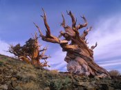 Tim Fitzharris - Foxtail Pine ancient trees at Schulman Grove, White Mountains, Inyo National Forest, California