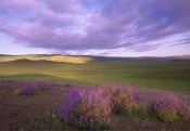 Tim Fitzharris - Large-leaved Lupine in bloom overlooking grassland, Carrizo Plain National Monument, California