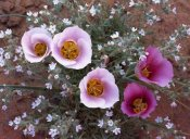 Tim Fitzharris - Sego Lily group, state flower of Utah with bulbous edible root, Canyonlands National Park, Utah