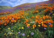 Tim Fitzharris - California Poppy and other wildflowers growing on hillside, spring, Antelope Valley, California