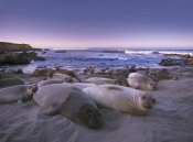 Tim Fitzharris - Northern Elephant Seal juveniles laying on the beach, Point Piedras Blancas, Big Sur, California