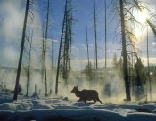 Tim Fitzharris - Elk female in the snow with steam rising from nearby hot spring, Yellowstone National Park, Wyoming