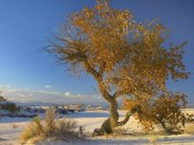 Tim Fitzharris - Fremont Cottonwood tree single tree in desert, White Sands National Monument, Chihuahuan Desert New Mexico