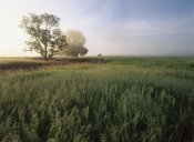 Tim Fitzharris - Oak trees shrouded in fog, tallgrass prairie in Flint Hills taken over by invasive Great Brome Grass, Kansas