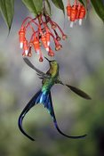 Michael and Patricia Fogden - Violet-tailed Sylph hummingbird visiting flowers of epiphytic Heath, Tandayapa Valley, Andes, Ecuador