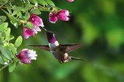 Michael and Patricia Fogden - Magenta-throated Woodstar hummingbird, feeding on epiphytic Heath, Costa Rican rainforest