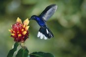 Michael and Patricia Fogden - Violet Sabre-wing hummingbird, feeding on and pollinating Spiral Flag ginger flowers, cloud forest, Costa Rica