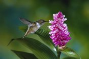 Michael and Patricia Fogden - Scintillant Hummingbird feeding at and pollinating flowers of epiphytic Orchid, Monteverde Cloud Forest Reserve, Costa Rica
