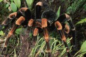Michael and Patricia Fogden - Red-kneed Tarantula close-up in vegetation, cloud forest, Costa Rica