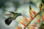 Michael and Patricia Fogden - Green Violet-ear hummingbird feeding, Monteverde Cloud Forest, Costa Rica