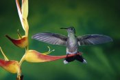 Michael and Patricia Fogden - Scaly-breasted Hummingbird near a Heliconia flower in rainforest, Costa Rica