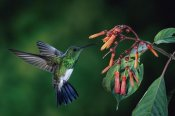 Michael and Patricia Fogden - Snowy-bellied Hummingbird male, flying near Firebush flowers cloud forest, Costa Rica