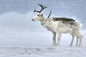 Philip Friskorn - Two Reindeer, male and female during a blizzard, Kiberg Varanger Finnmark,Norway