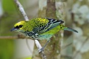 Steve Gettle - Speckled Tanager, Costa Rica
