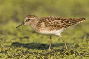 Steve Gettle - Pectoral Sandpiper, Michigan