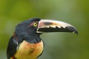 Steve Gettle - Collared Aracari, Costa Rica