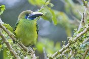 Steve Gettle - Emerald Toucanet, Costa Rica