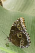 Steve Gettle - Blue Morpho butterfly, Ecuador