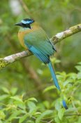 Steve Gettle - Blue-crowned Motmot, Costa Rica