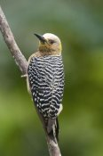 Steve Gettle - Hoffmann's Woodpecker, Costa Rica