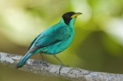 Steve Gettle - Green Honeycreeper male, Costa Rica