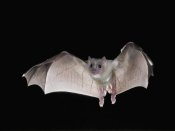 Steve Gettle - Egyptian Fruit Bat flying, Michigan