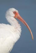 Steve Gettle - White Ibis, Fort Myers Beach, Florida