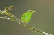 Steve Gettle - Green Honeycreeper female, Costa Rica