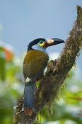 Steve Gettle - Plate-billed Mountain-Toucan, Ecuador