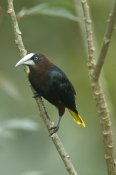 Steve Gettle - Chestnut-headed Oropendola, Costa Rica