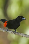 Steve Gettle - Scarlet-rumped Tanager male, Costa Rica