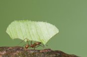 Steve Gettle - Leafcutter Ant carrying leaf, Costa Rica