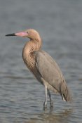 Steve Gettle - Reddish Egret, Fort Desoto Park, Florida